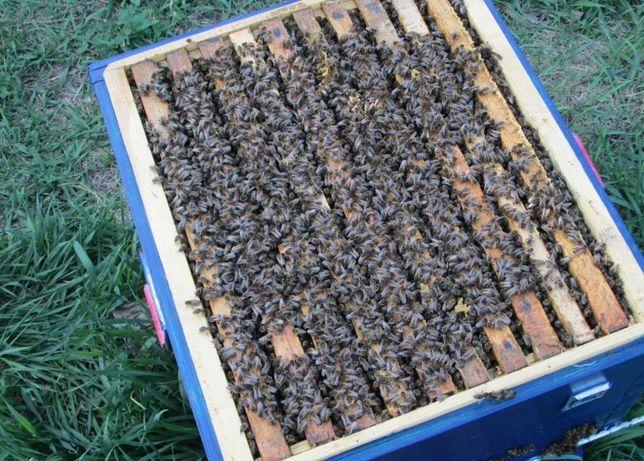 Пчеломатки Плодные Меченые Карпатка