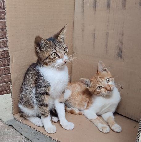 Отдам котят в хорошие руки. Два рыжих и серых