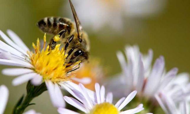 Продам пчёл матка карпатка