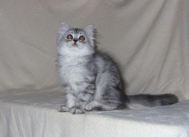 Kotka Perska/pers/perskie/koty