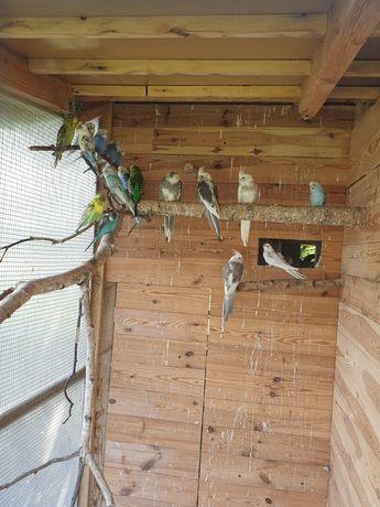 Papugi faliste, nimfy