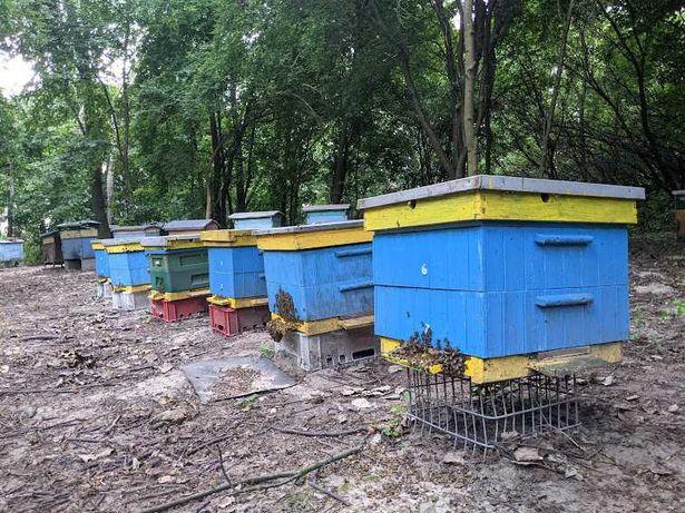 Pasieka, pszczoły podkarmione, ule wielkopolskie