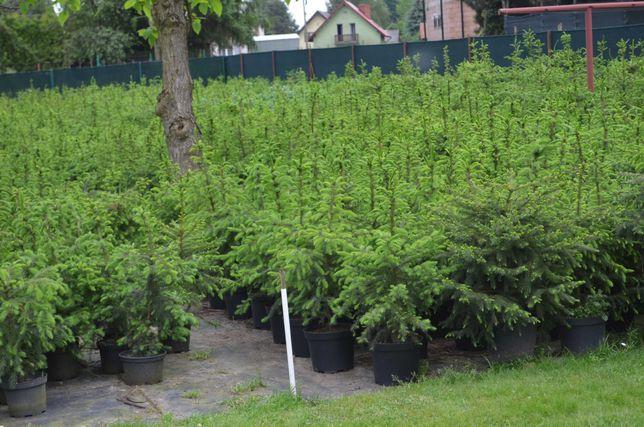 Świerk serbski - wys. ok. 100 cm - don. 5 L - plantacja doniczkowa