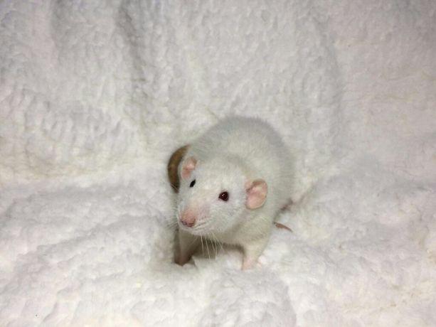 Szczury szczurki szczur DUMBO REX Szczurek