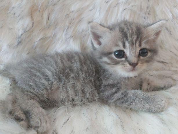 Kot brytyjski  z rodowodem