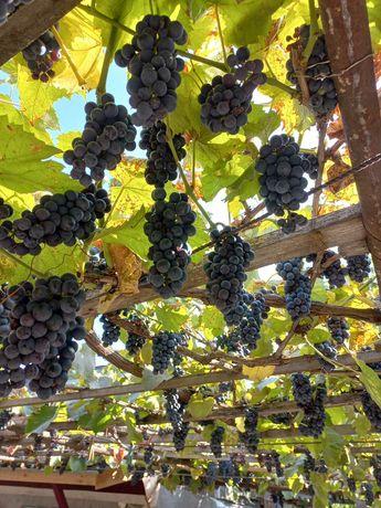 Продам выноград недорого