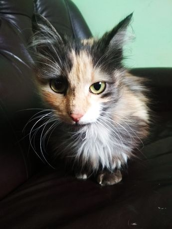 Кошечка трехцветочка бесплатно