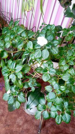 капризка бальзамин цветок комнатное растение