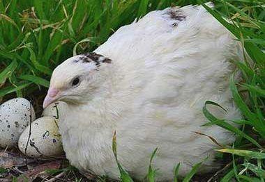 Перепелиные инкубационные яйца