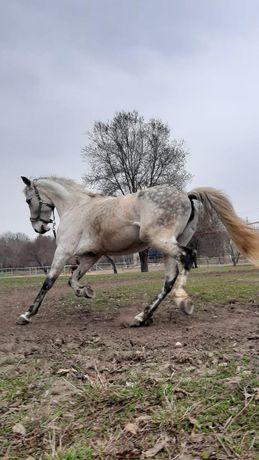 Орловская лошадь, кобыла