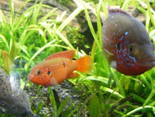 GB akara czerwona WYPRZEDAŻ ryby dorosłe 5zł szt