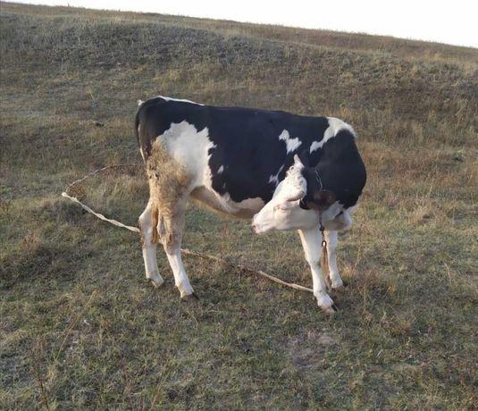 Тёлка стельная на корову