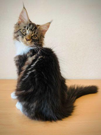 Кошенята мейн кун в очікуванні своїх найкращих сімей