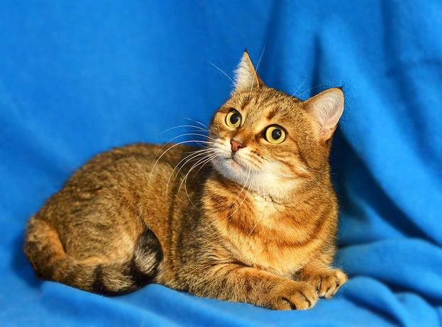 Злата, 1 год, невероятно красивая кошечка! Кошка в добрые руки