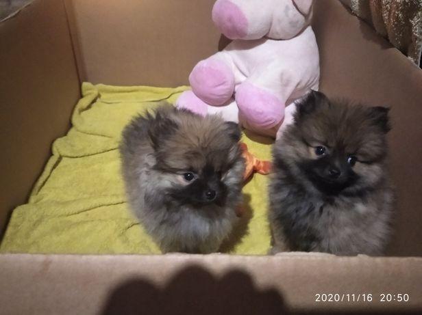 Маленькі собачки велика радість залишилось дві дівчинки Джина та Міла