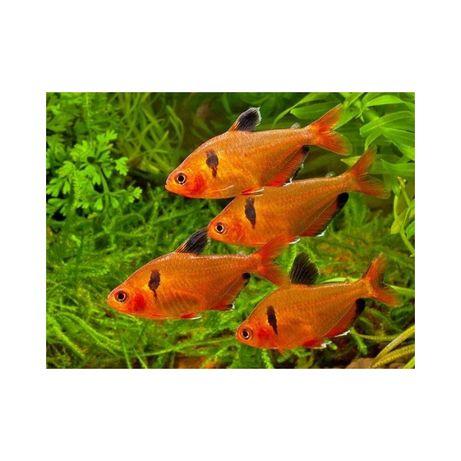 Ryby do akwarium od 1 zł - bystrzyk barwny - hodowla