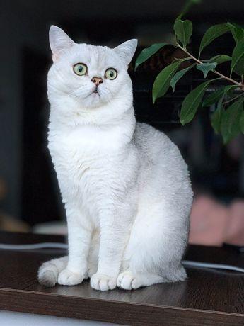 Вязка шотландский кот скоттиш страйт