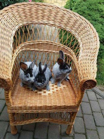 продаються кролі велике світле срібло