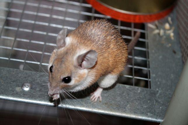 Иглистая мышь. Акомис.