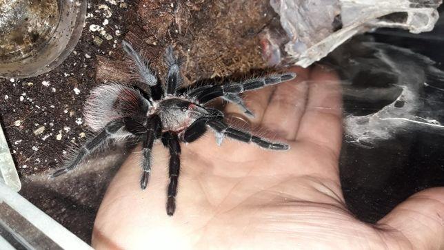 Продом пауков вагансов