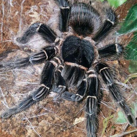 гигантский паук птицеед павук птахоїд тарантул lasiodora parahybana