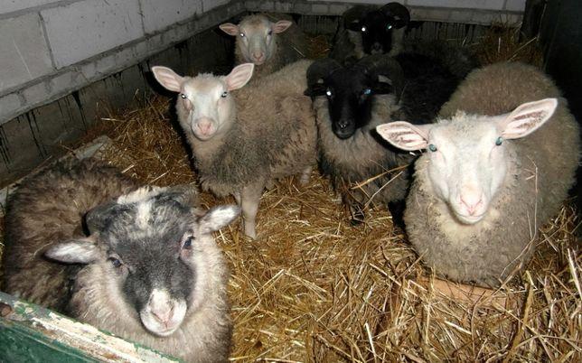 Owce i barany do sprzedania