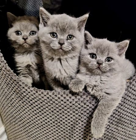 Piekne Koty Brytyjskie krotkowłose!Ostatnia kotka!