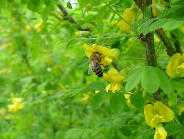 Акация жёлтая(карагана)