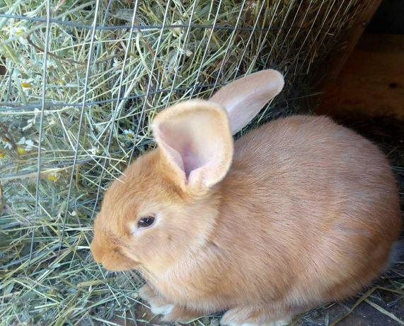 Кролики Бургундські кролі кролики