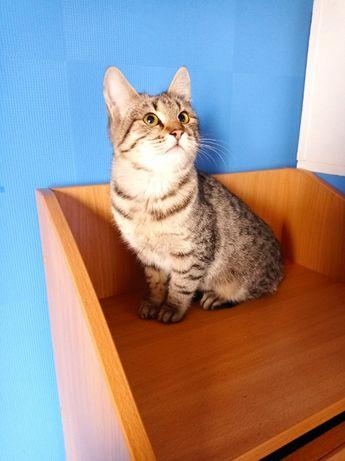 Молодая стерилизованная полосатая кошка подросток