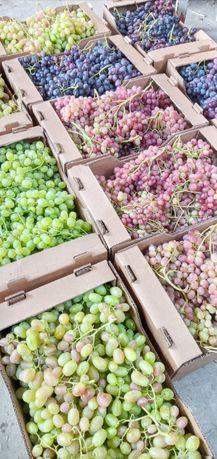 Лоза ранних и ультра ранних сортов винограда