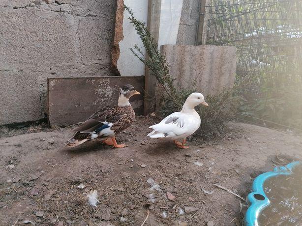 Kaczka, kaczor call duck