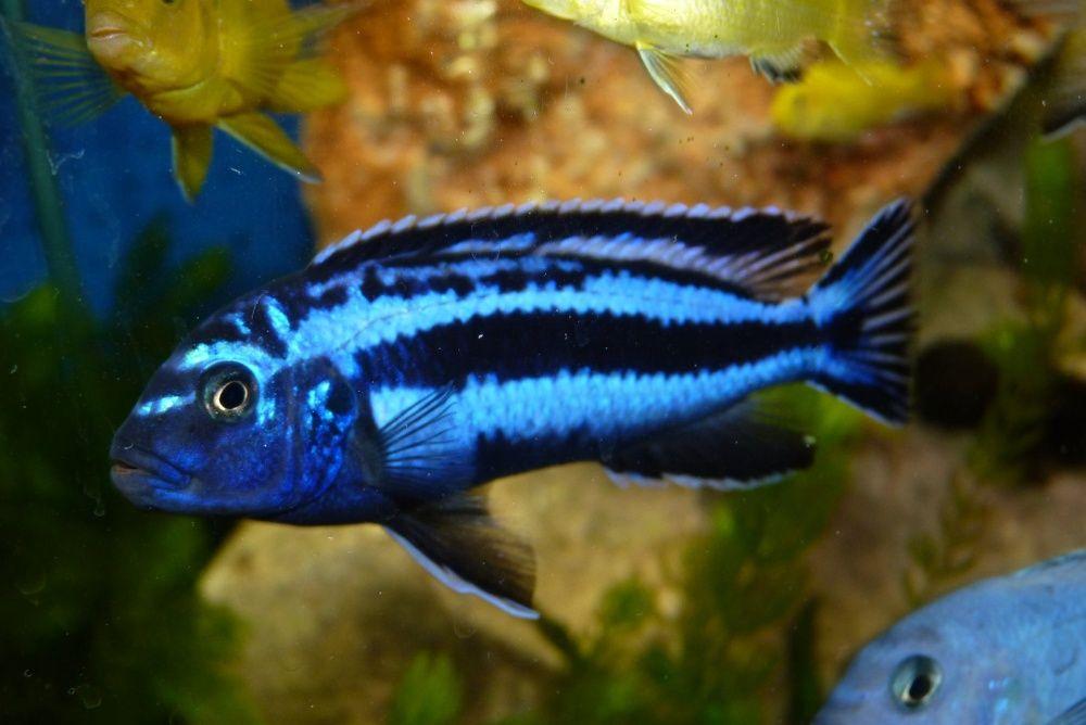 Pyszczak Melanochromis maingano elblag Elbląg - image 1