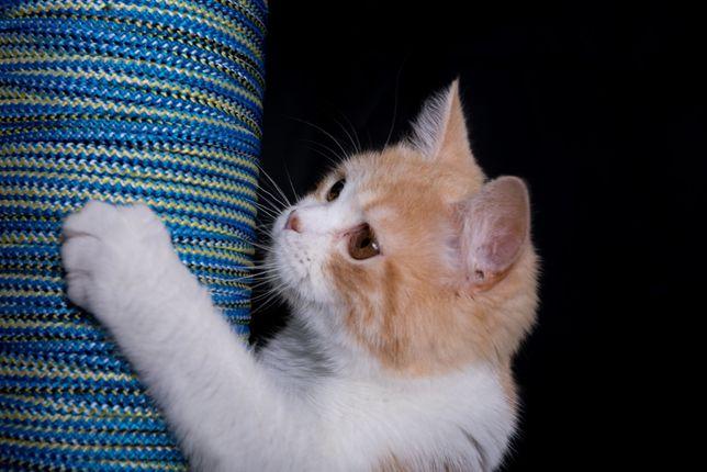 Красный мраморный биколор-котик скоттишстрайт.