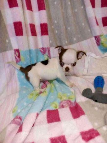 Chihuahua excelente MACHO de excelente linhagem