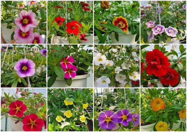 Pelargonia Lobelia Surfinia Truskawka i inne kwiaty