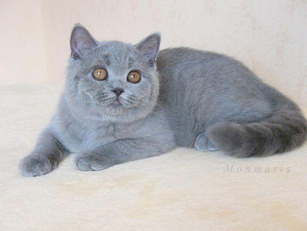 Предлагается к продаже чистокровный британский котик