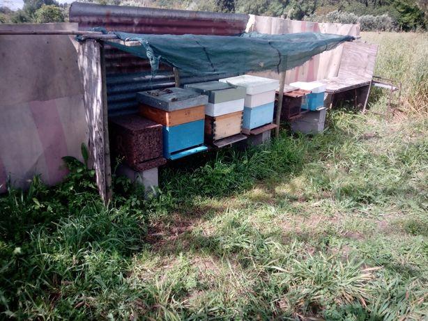 Vendo enxames de abelhas, ou troco por material de apicultura