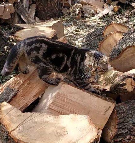 Молодой шотландский кот чёрный мраморный (скотиш- Страйт) ищет невесту