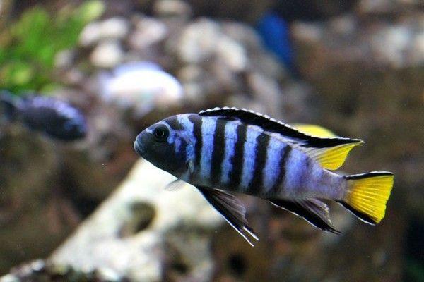 Rybki pyszczaki Pseudotropheus sp. elongatus Mpanga