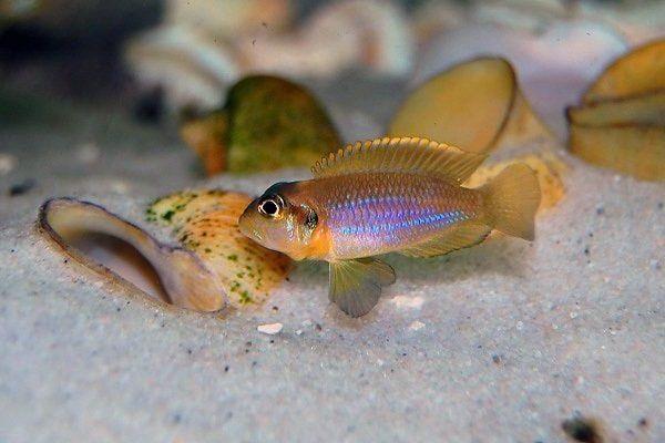Muszlowiec L. Ocellatus Gold Isanga F2 - 3 cm - Sklep Zoo ALTUM