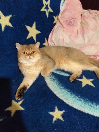 Золота шиншила кіт на вязку