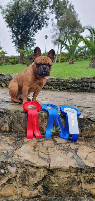 Bulldog francês cruza