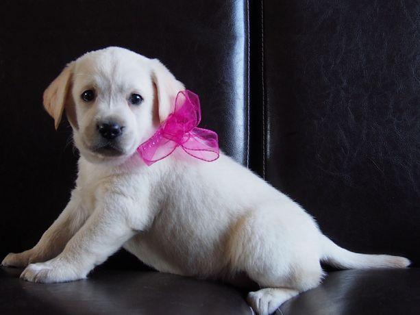 Labrador Retriever. RODOWOD