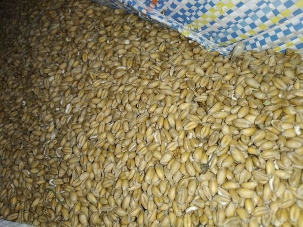 Pszenica idealna na mąkę