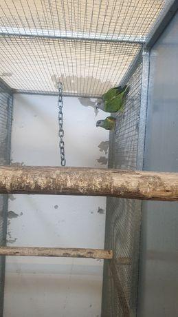 3 fêmeas papagaio do Senegal