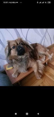 Пропала собака Кушугум