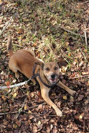 PILNE! Ciastek 3 letni pies do adopcji, szuka domu