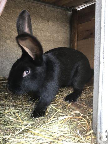 Самець чорний 6 місяців