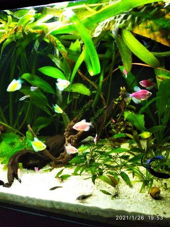 Rybki akwariowe tetra fluo
